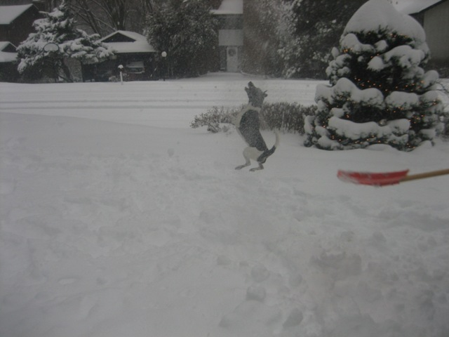 Hobbes leaping in the snow